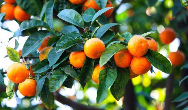 Venta de mandarinas clemenules en tarragona