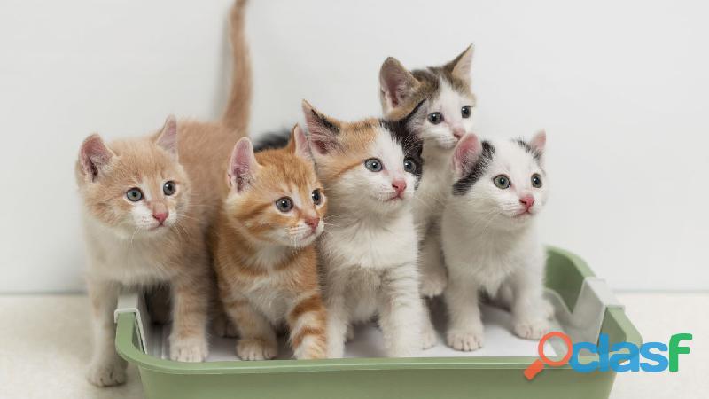 adopta un gato. REGALO GATITOS 689775041