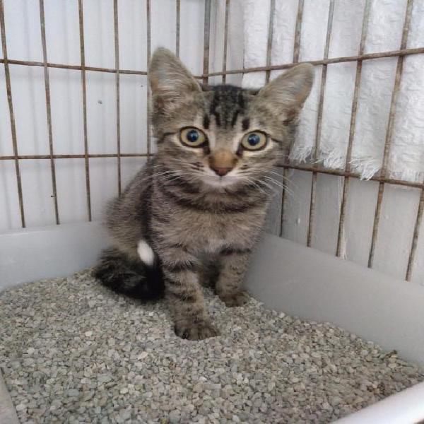 Elvis - gato en adopción