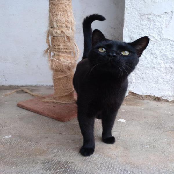 Jackson - gato en adopción