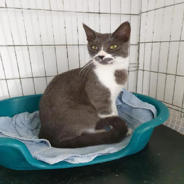 Kenzo - gato en adopción