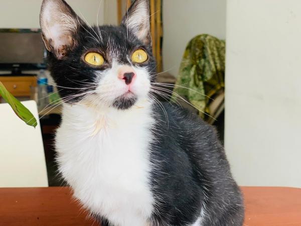 Mimi - gato en adopción