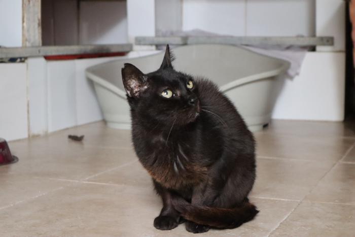 Noir - gato en adopción