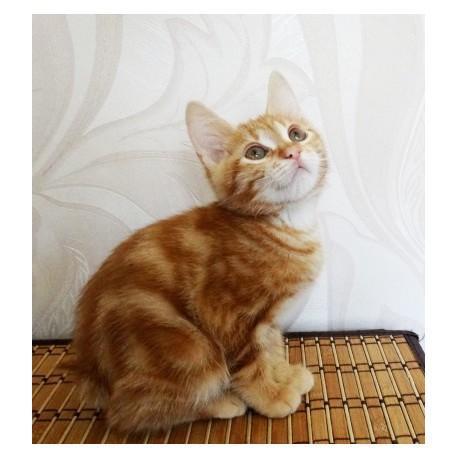 Regalo bobtail japonesa regalo listos para un nuevo hogar.