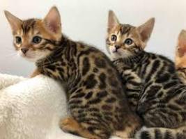 ____))))))gatitos bengal regalo listos para un nuevo hogar.