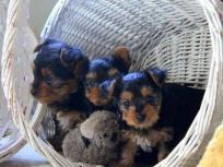 Encantadores cachorros t-cup yorkshire terrier