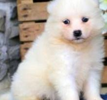 Bellos cachorros de pura raza samoyedo
