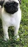 Cachorro pug macho y hembra