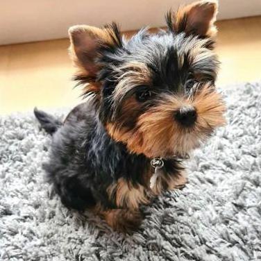 Cachorros yorkshire terrier con pedigree