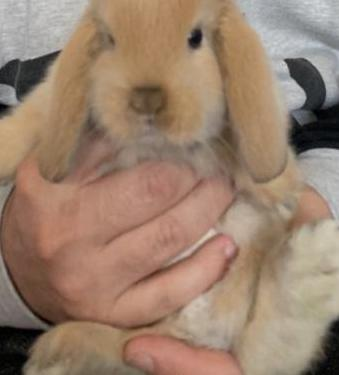 Conejo belier accesorios