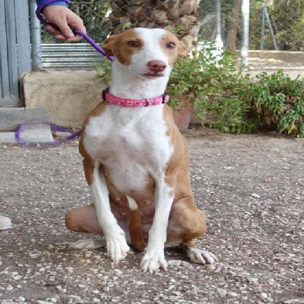 Gabana - perro en adopción