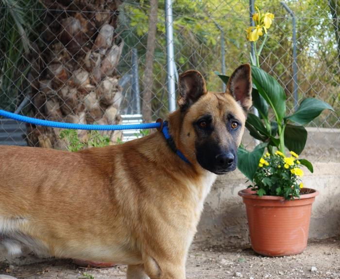 Lasio - perro en adopción