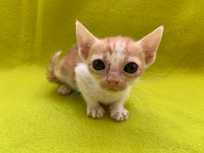 Nilo - gato en adopción