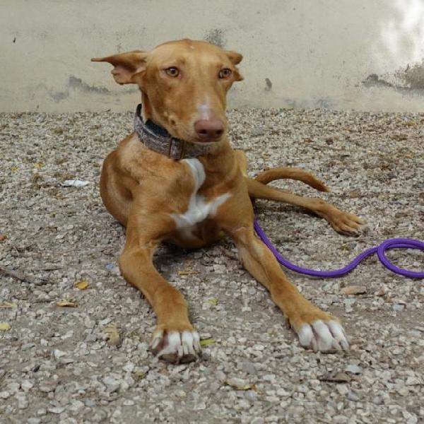 Poma - perro en adopción