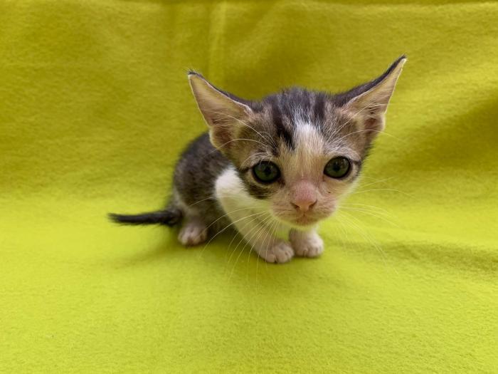 Shelly - gato en adopción