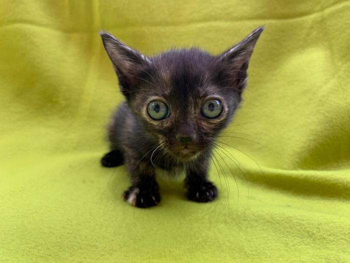 Tofee - gato en adopción