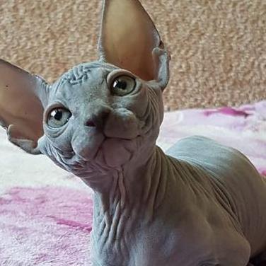 Gatitos sphynx para adopción.