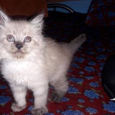Gato persia
