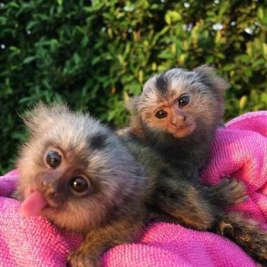 Monos titíes disponibles