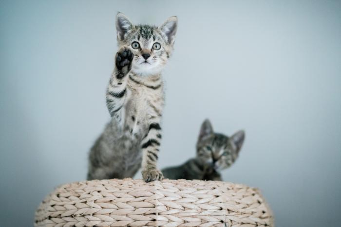 Dali - gato en adopción