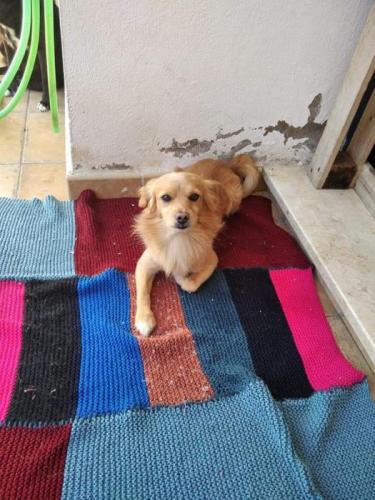 León - perro en adopción