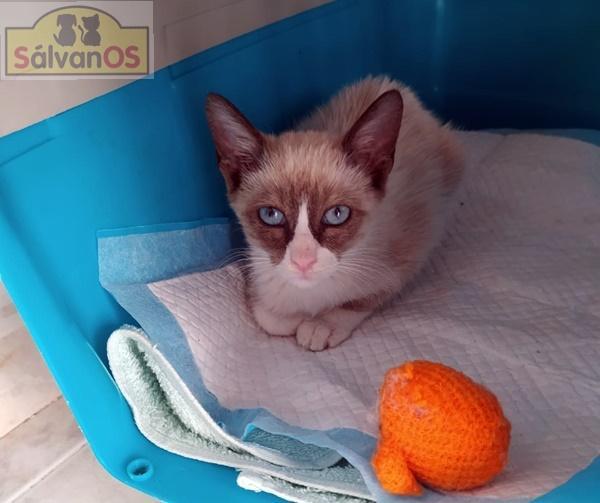 Ross - gato en adopción