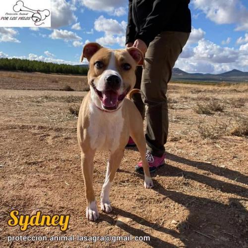 Sydney - perro en adopción