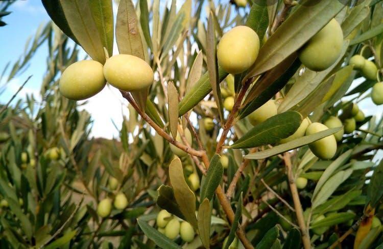 Recoger olivas