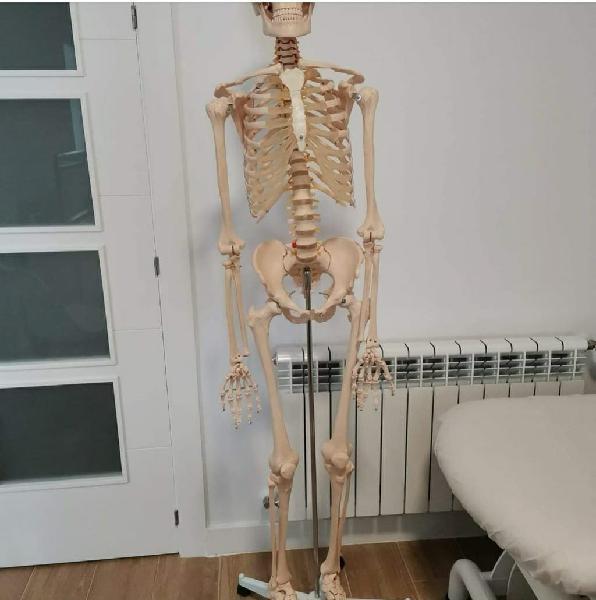 Esqueleto humano.