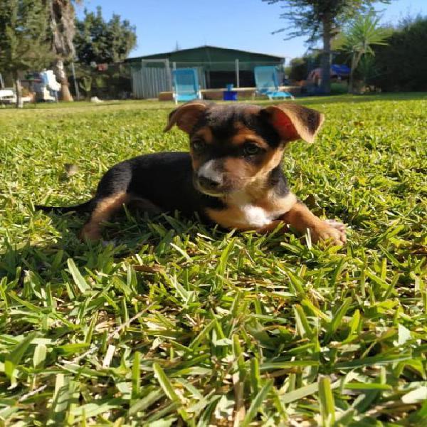 Cristobal - perro en adopción