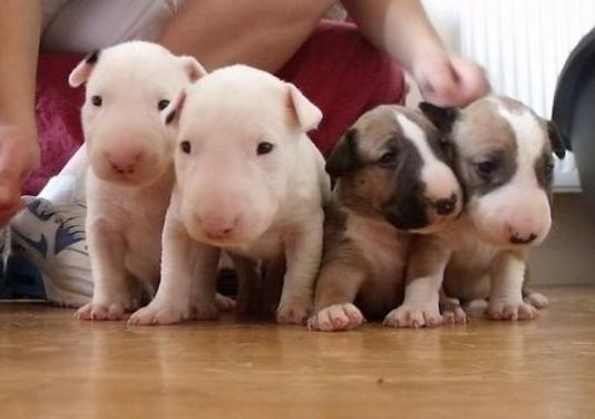 Achorros bulldog frances merles