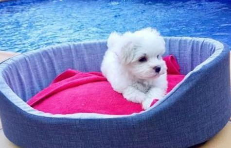 Cachorro bichón maltés.