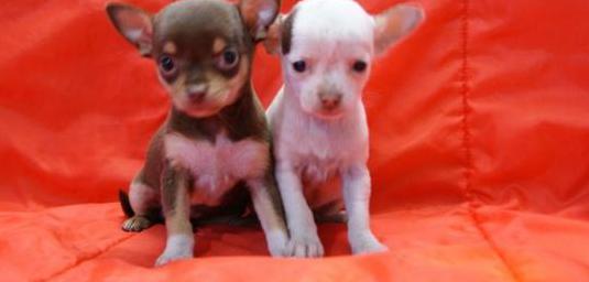 Chihuahuas calidad 750