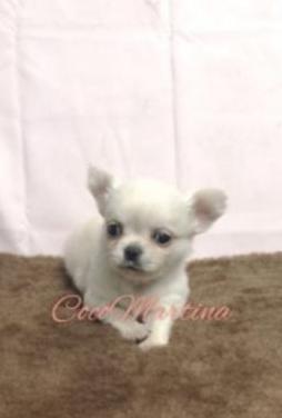 Chihuahuas toy