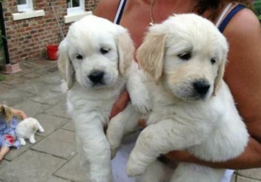 Cachorros clásicos de golden retriever.