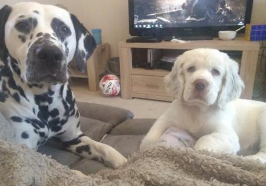 Cachorros de pura raza clumber spaniel
