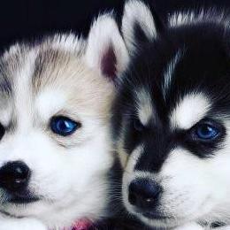 Cachorros de raza pura raza husky siberiano de ped