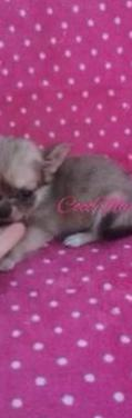 Chihuahua toy pelo largo