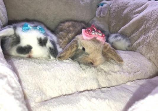Conejos belier holandés padres con papeles