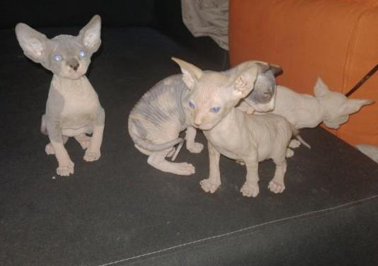 Gatos sphynx pedigree