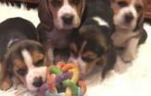 Jaberto beagle pura raza nacional certificado