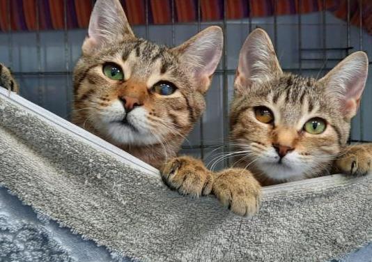 Kyoto gatito de 4 meses en adopción