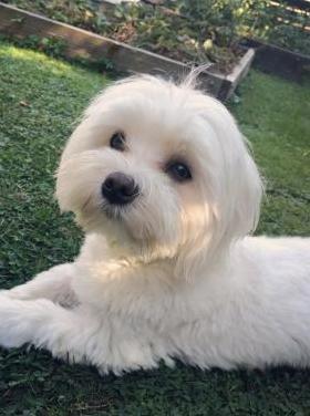 cachorro Bichon Maltés