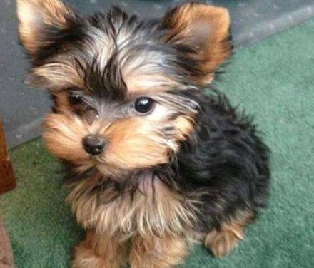 Cachorro yorkie para regalo
