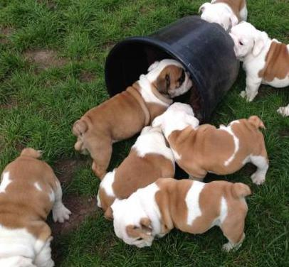 6 cachorro de bulldog inglés