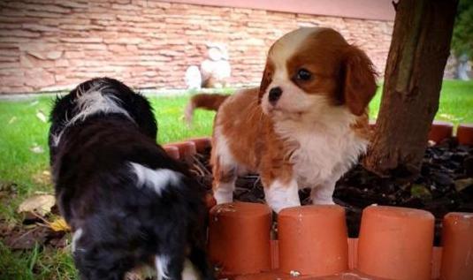 Cachorros cavalier