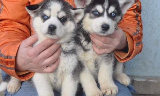 Cachorros de pura raza husky siberiano disponibles