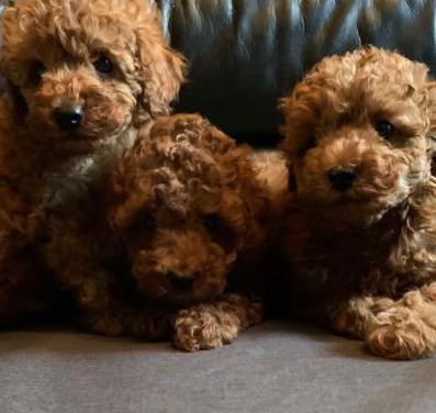 Magnificos cachorros de caniche toy