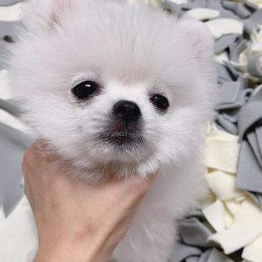 Cachorro pomeranian