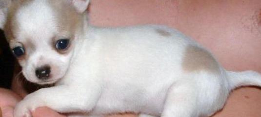 chihuahua mejor para adopción ttt